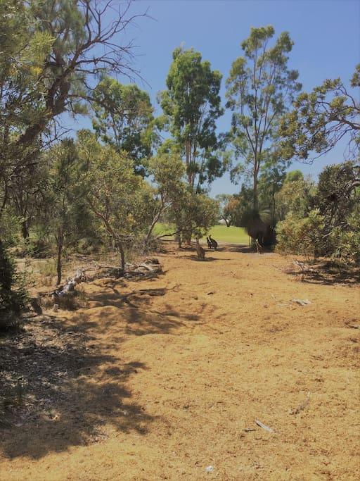 Golf course Kangaroos