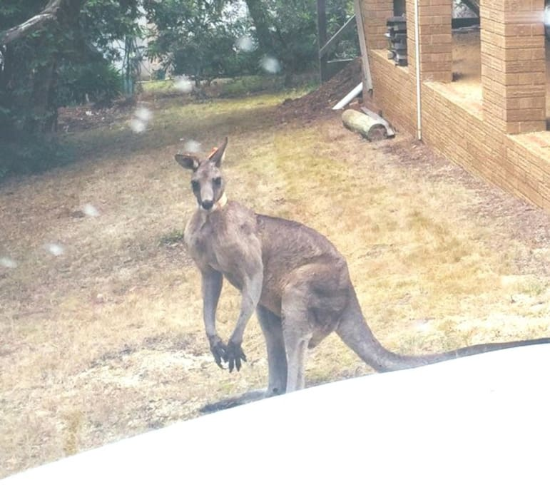Yes we do have Kangaroos visit our front and back yards and an abundant native birdlife with Tawny Frog Mouths a highlight.