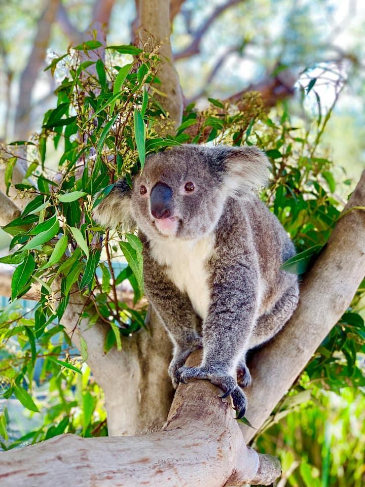 Meet A Real Koala!