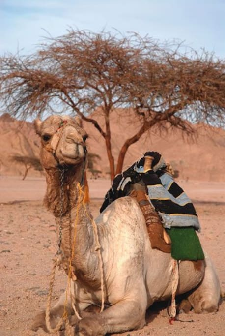 We can organize a safari The camel waiting for you ....