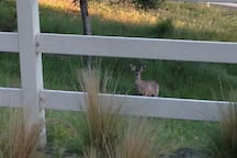 You may find a family of deer visiting in the pasture or drinking from the fountain