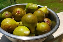 Visit in August and sample some fresh figs from the brown turkey fig tree