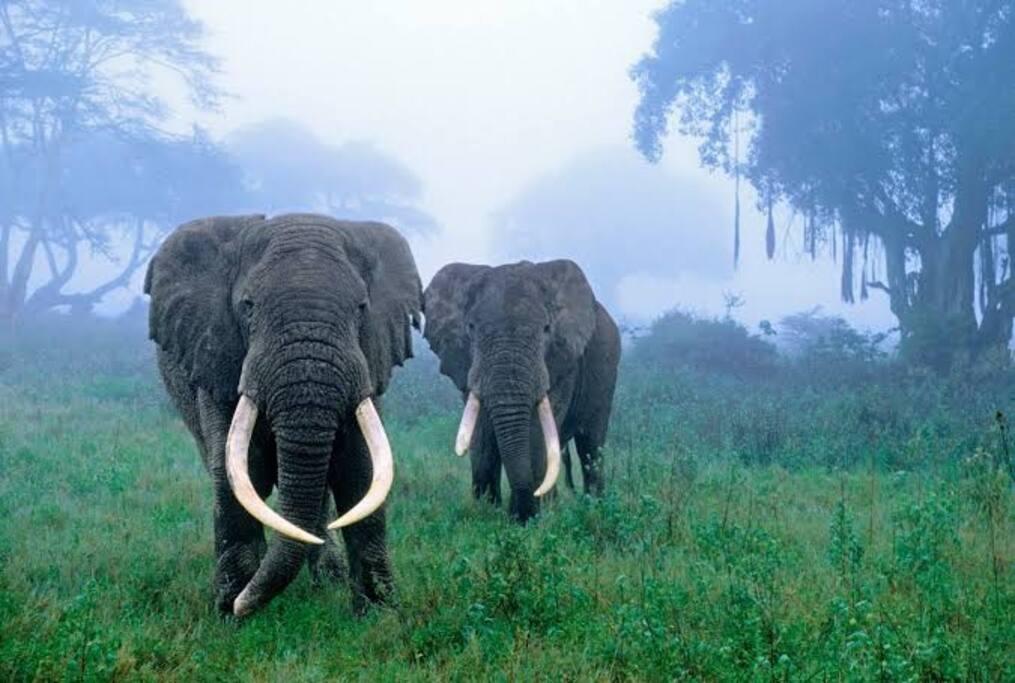 Elephants within Ngorongoro conservation area..