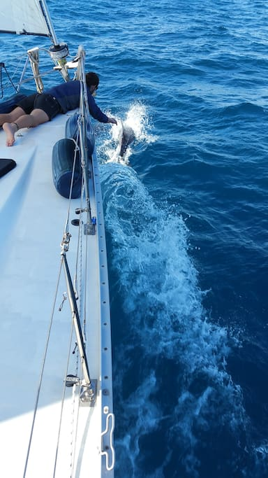 Dolphins love to play in the bow wave.