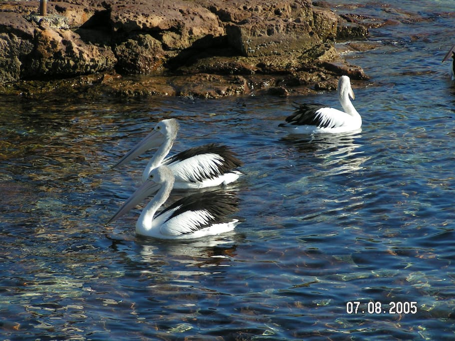 Pelicans in Shellharbour
