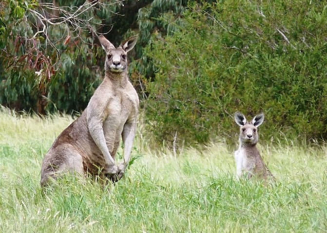 Kangaroo sightings are common within walking distance of our home