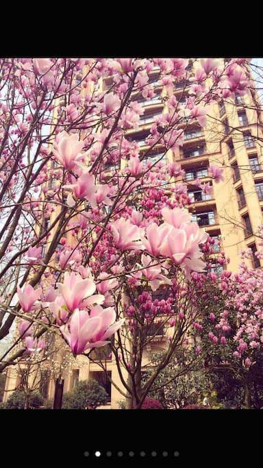 春天满园的玉兰花