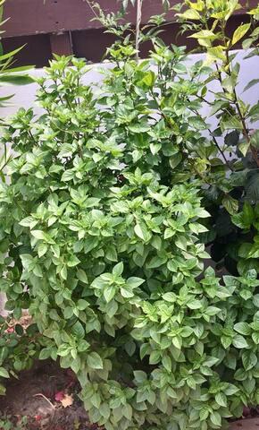 Fresh Organic Basil in the garden