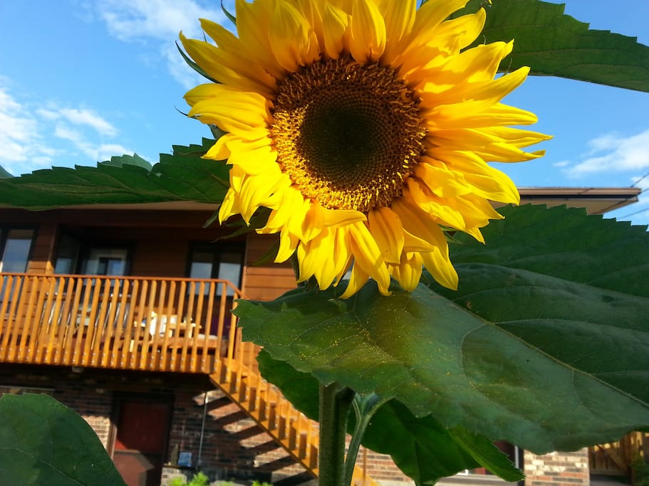 Our summer sunflowers