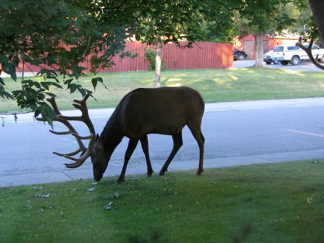 Bull Elk grazing in our front yard.