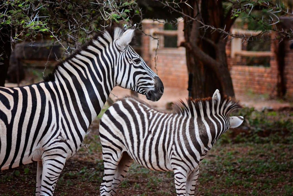 Zebras of Marloth