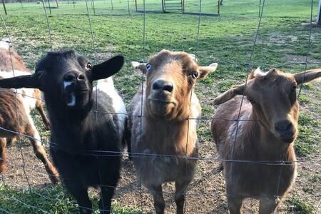 Fainting Goats of Flathead