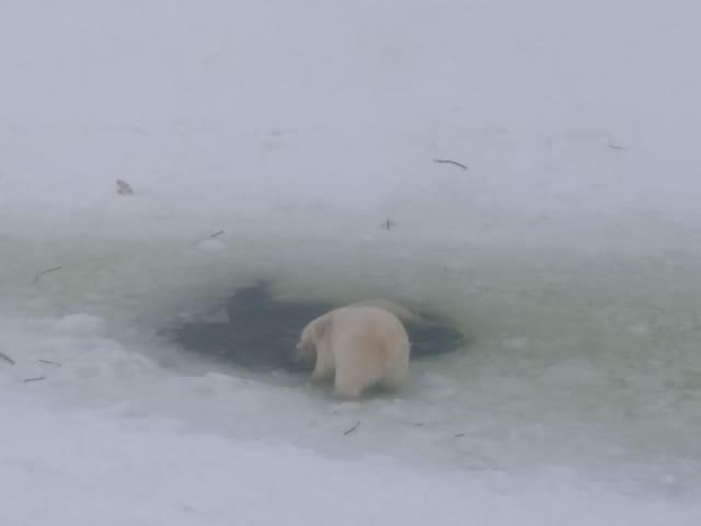 Polar bear baby in Ranua zoo