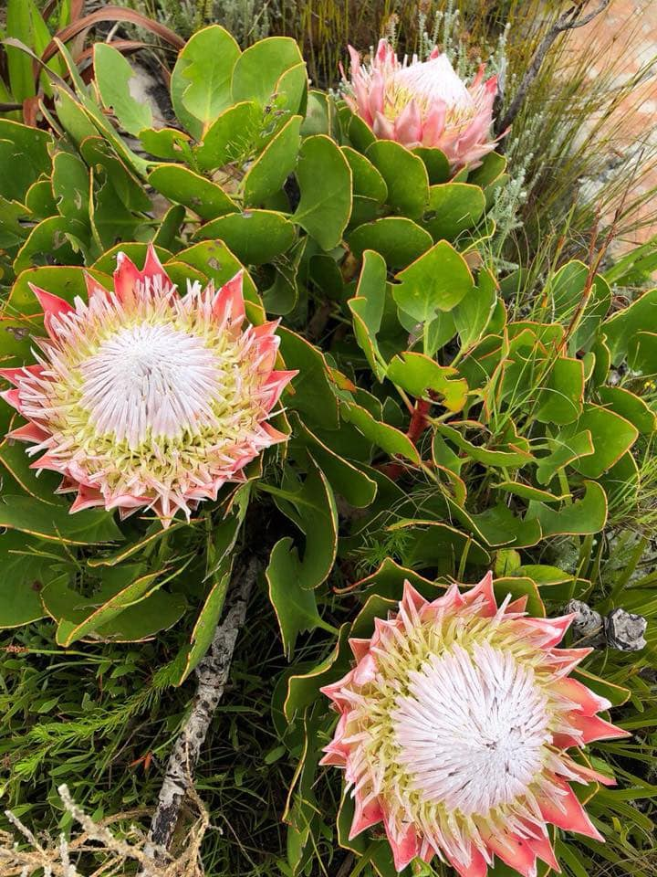 The beauty of Fynbos - learn about flora