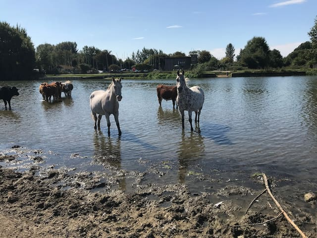 "Port Meadow is our neighbour about 1min walk over a little bridge. It is 4000 years  ""Oxford's oldest monument"" landscape that has changed little since prehistoric times.  Port Meadow is one of County's most popular haunts for horses,livestock,birds."