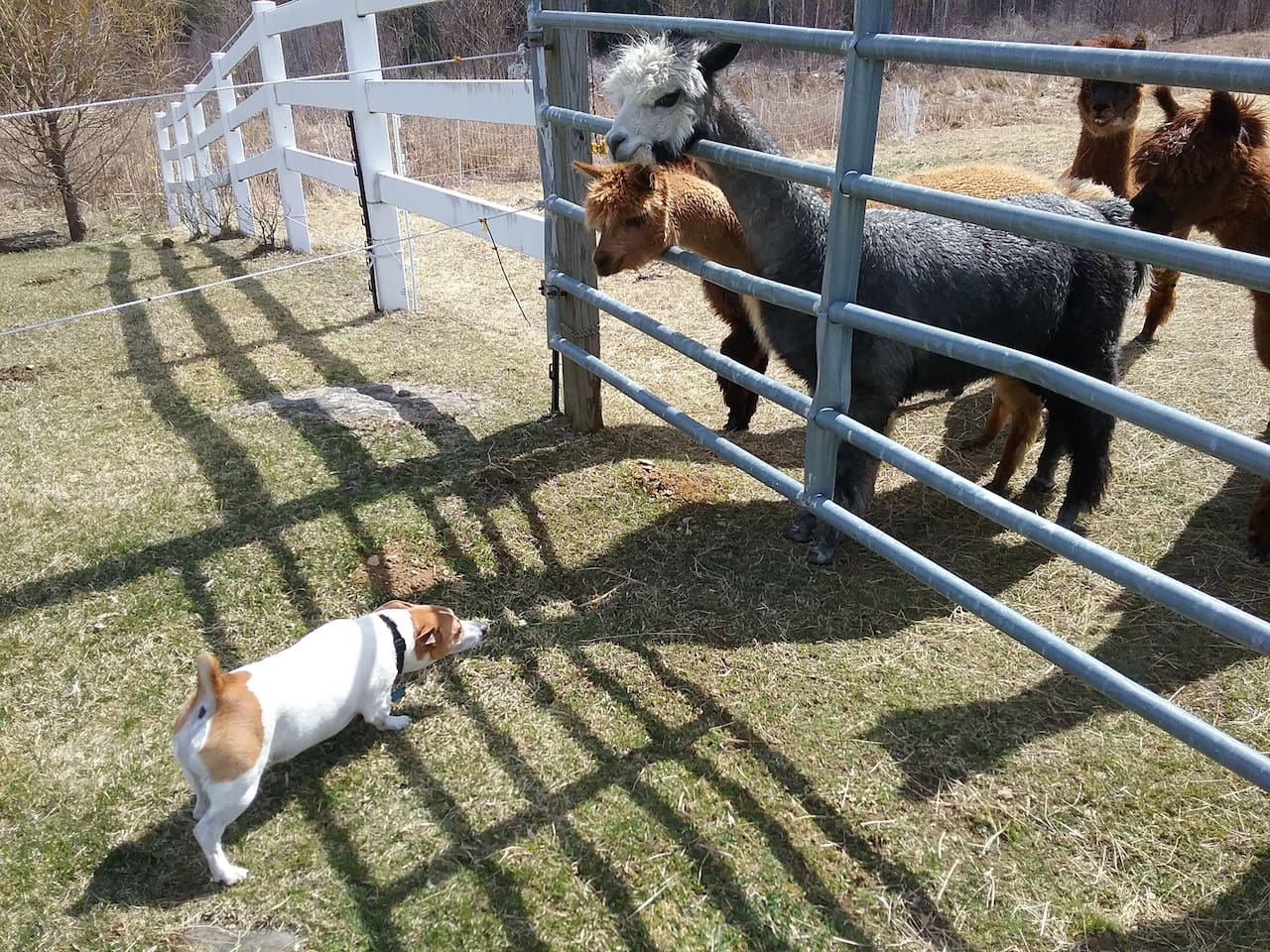 Alpacas, Domenic the dog, Cats and Chickens