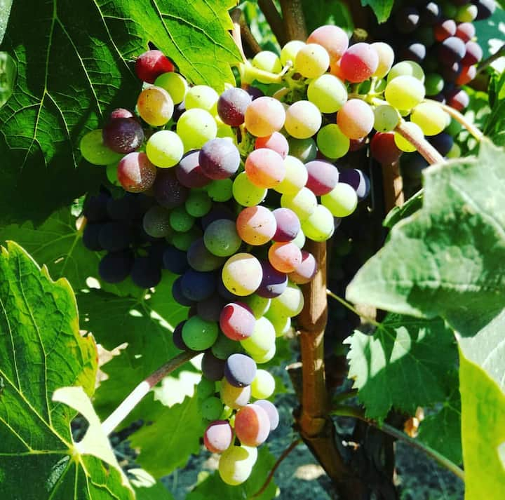 Grape ripening process