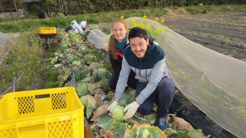 Harvest cabbeges, 收获洋白菜