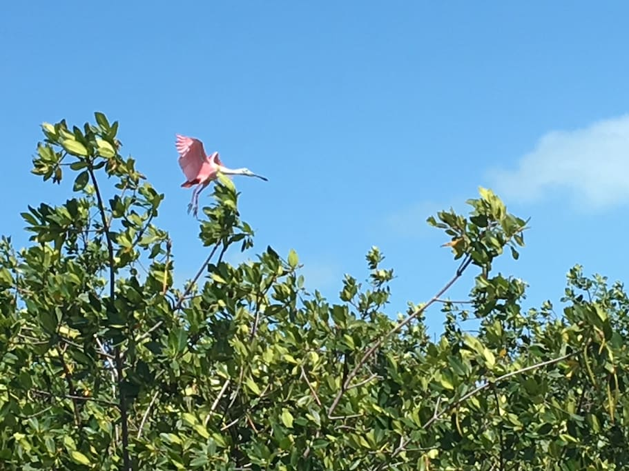 Beautiful birds can be observed such as this spoonbill.