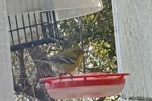 Migratory birds visit back porch