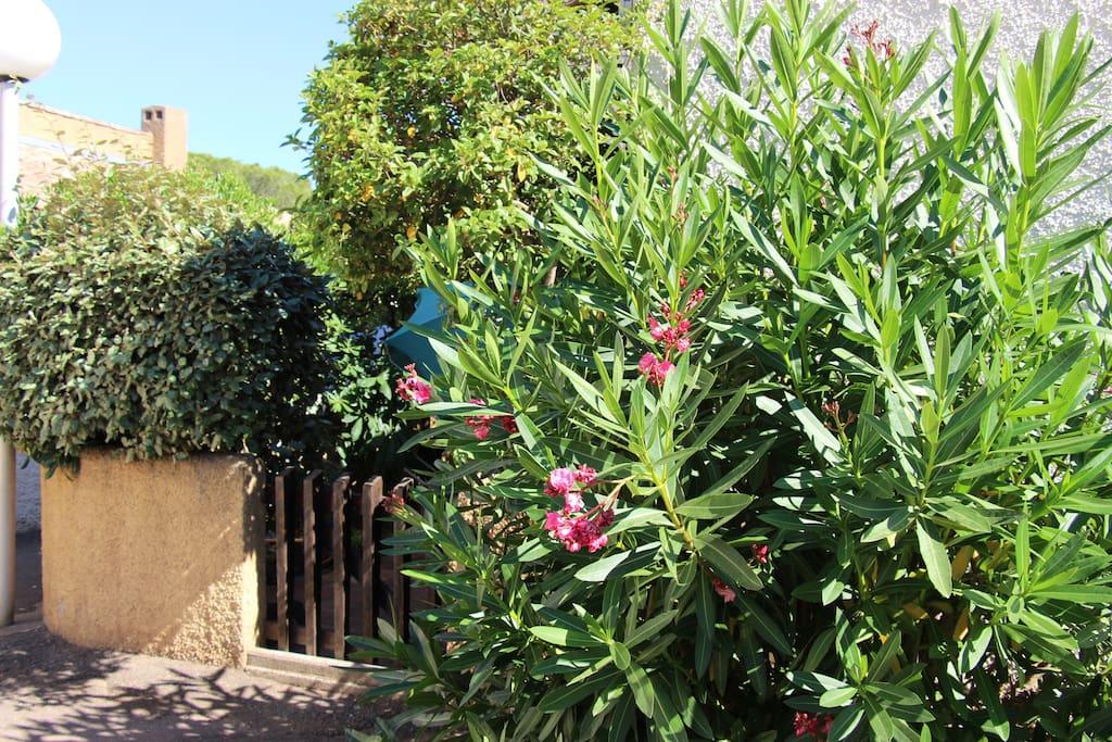 Lauriers roses à l'entrée de la ville