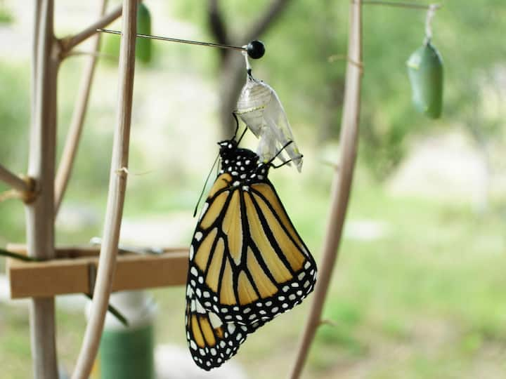 Monarch drying its wings