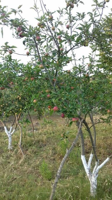 Δυο από της υπέροχες Μήλιες μας γεμάτες κόκκινα δροσερά μήλα