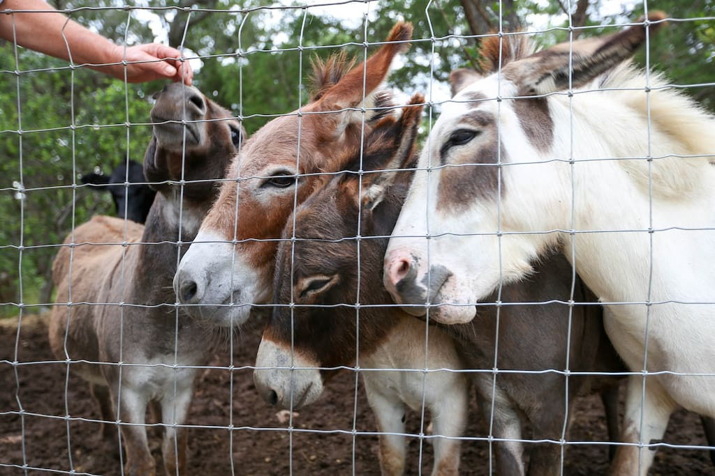Our little family of miniature donkeys love head scratches and treats.