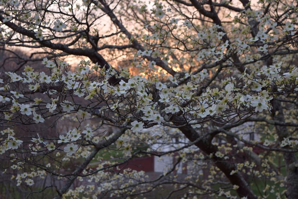 Springtime Dogwoods