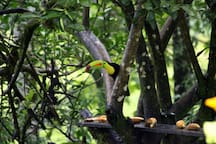 Beautiful toucan right on your back yard