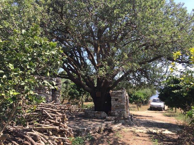 The wild-pear tree