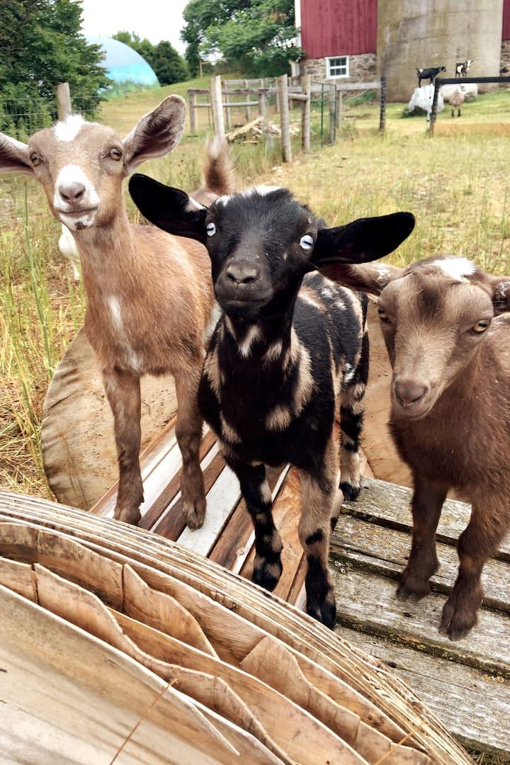 Goats or monkeys..:)