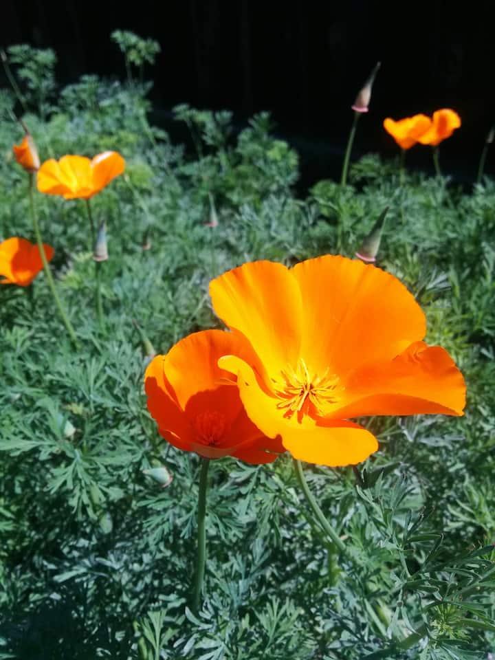 California poppy, the state flower.
