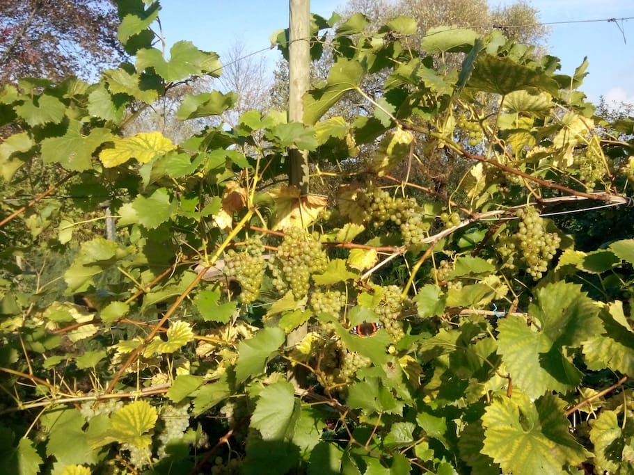 vi dyrker druer og laver vin