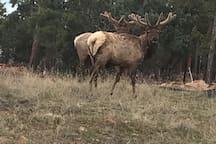 Elk wander on the property.