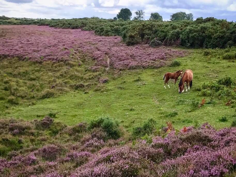 A New Forest Pony and her Foal feeding amongst the Heather in the National Park last summer.