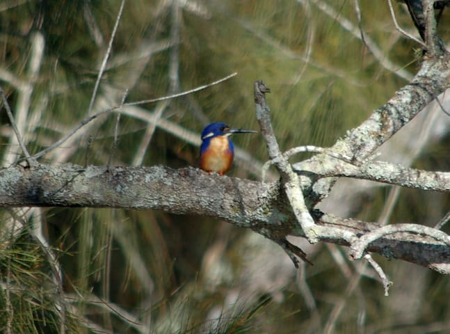 Azure Kingfisher by the lake