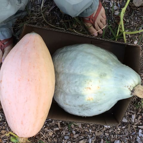 Harvest blue hubbard and winter squash