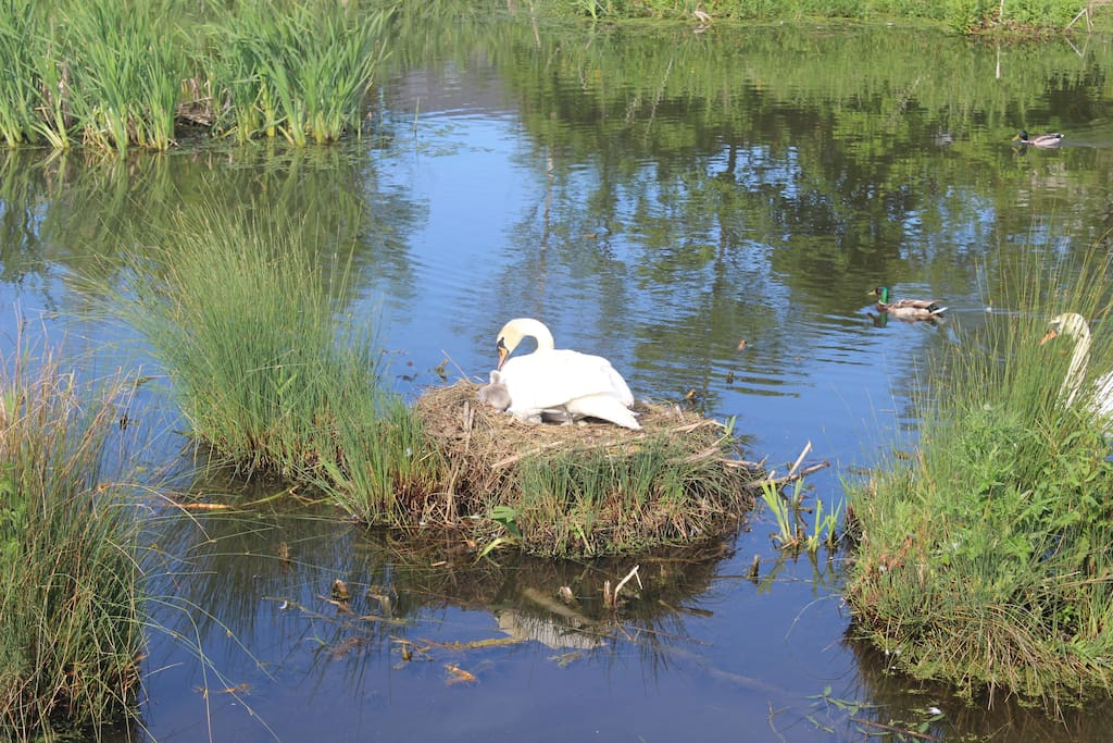 Swans in one of the local ponds