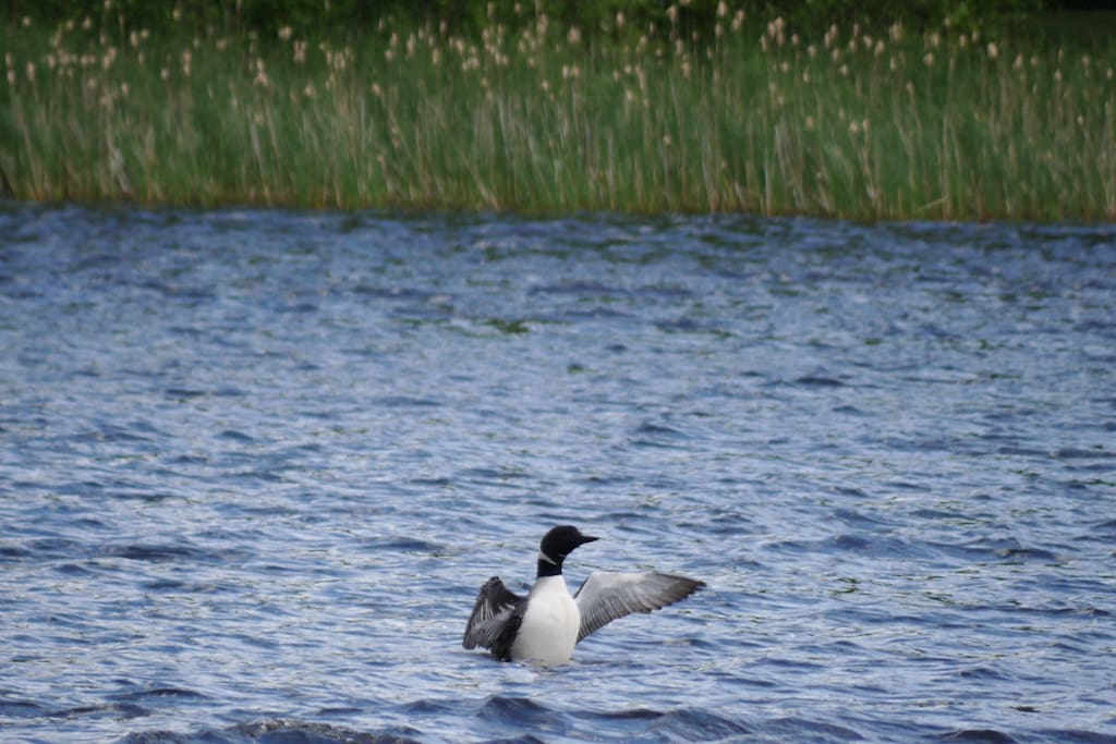 Loons on Dunn Lake are plentiful