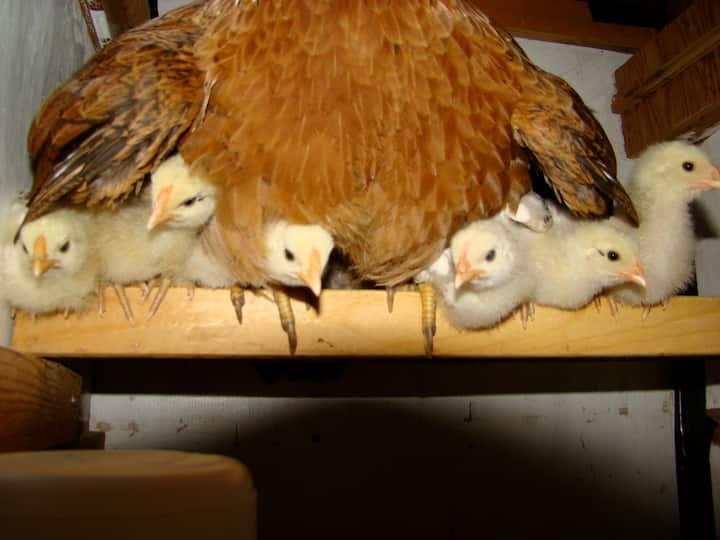 Baby chicks join mamma on the roost