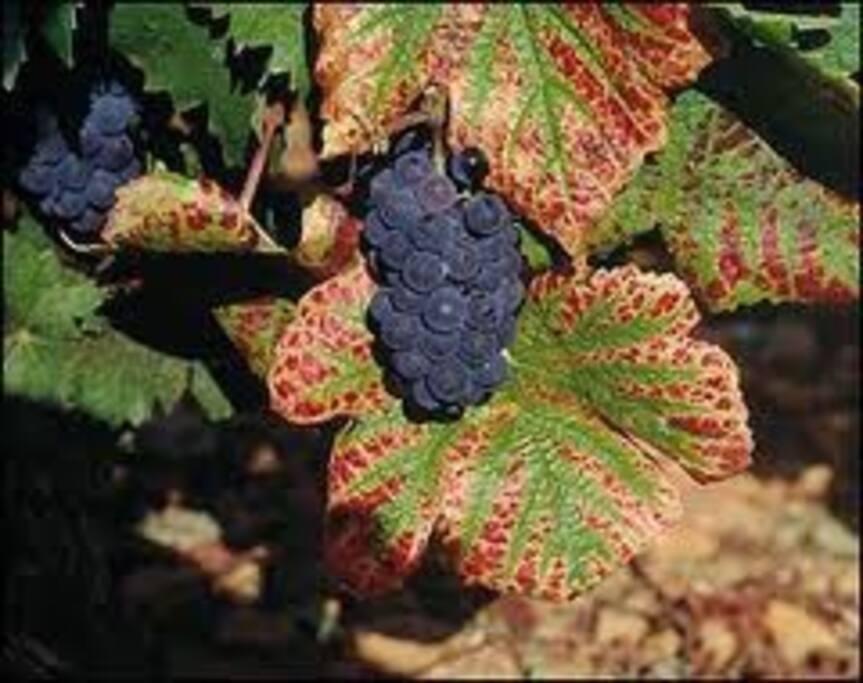 le raisin  à l' approche de la vendanges