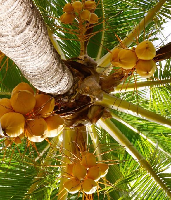Free Coconut, We have 2 types. Green and Yellow coconut