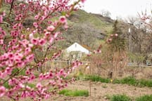 Spring blooms of peaches with the house nestled behind. (Photo credit Arlie Sommer)