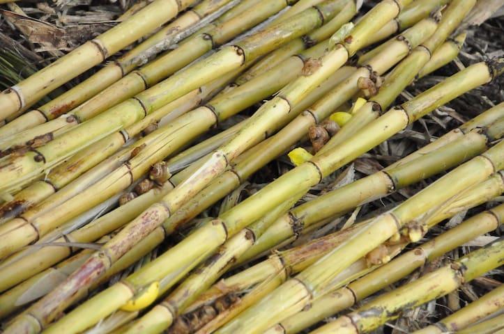 Sugarcane Stalks! Special Homemade Drink  Recipe!