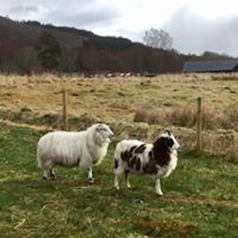 Alfie and Ethel, two of our sheep