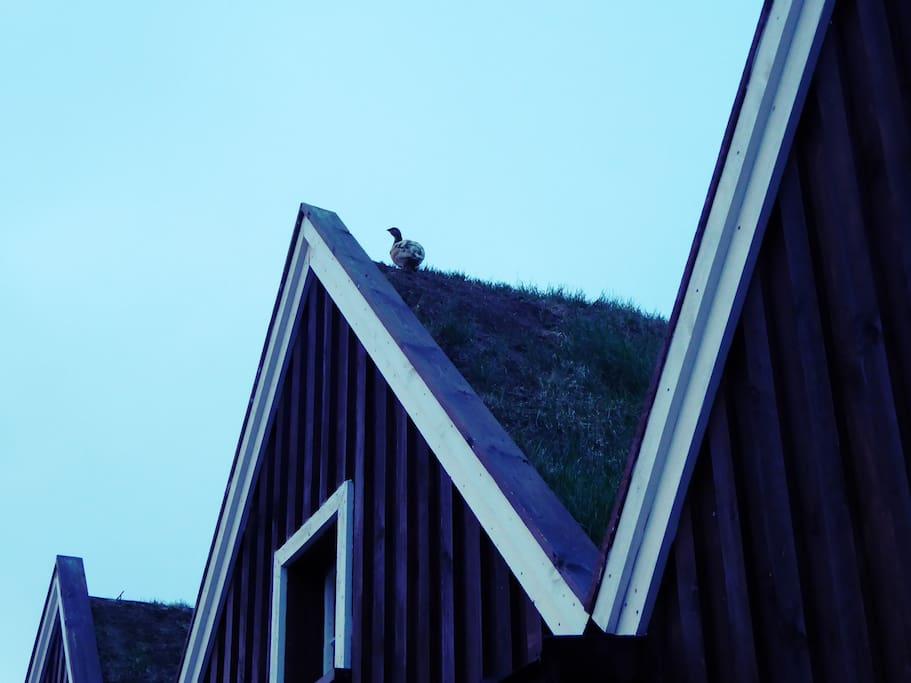 Lagopède sur le toit