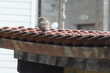 "A ""Little Owl"" that lives in the barn next door to our garden."