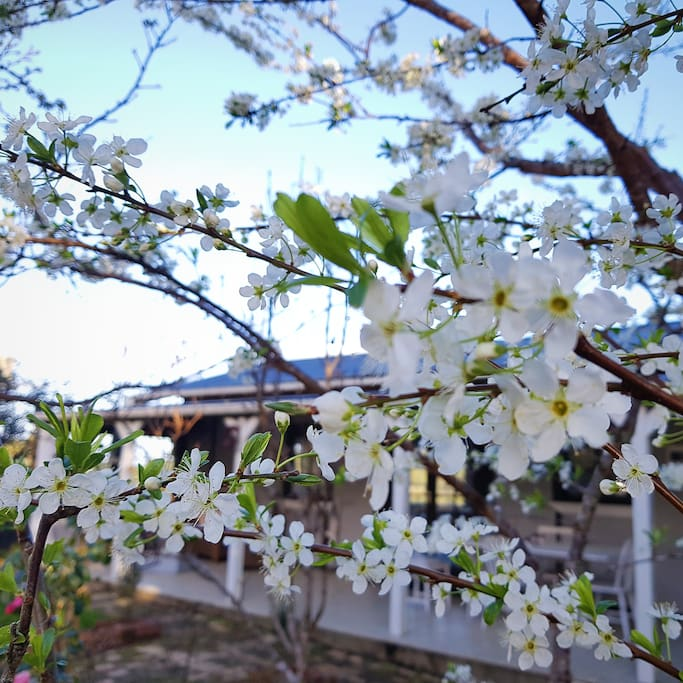 Plum blossoms in front of the Cottage in Spring.