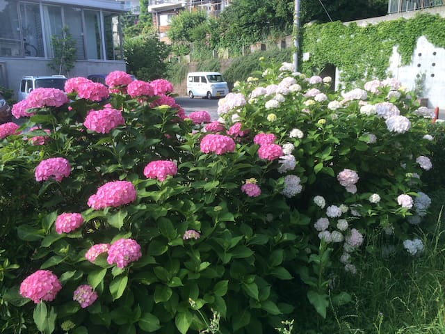 """It's called """"Ajisai"""" 紫陽花 in Japanese. You will see them in June and July."""